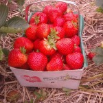 A basket of Elegance strawberries